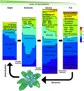 Transcriptome reprogramming during severe dehydration contributes to physiological and metabolic changes in the resurrection plant Haberlea rhodopensis